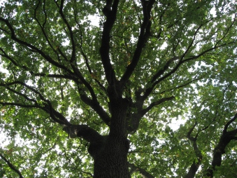 Heart of the Oak © Sharon Morris.